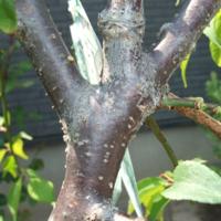 しだれ梅の幹に付着してるのはカイガラムシですか? 鉢植の「しだれ梅」の幹に約1~2ミリで白いものが付着してます。 爪で簡単に掻きむしれますが、カイガラムシの一種ですか? それともロウムシの一種ですか?  鉢植の「源平しだれ桃」でも少し発生してます。また、近くに植えてある「タラノキ」の幹にも付着してます。  昨日、「オルトラン」と「スミソン」を散布したばかりですが、もしカイガラムシ...