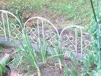 写真の通り、玉ねぎ茎上に葱坊主みたいのが出来ました。 収穫の時期なんですか? もう少しこのままで、茎全部倒れてからの方がいいのですか?