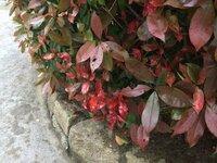 レッドロビンですが、異様に赤くて変形した葉があります。 病気でしょうか?