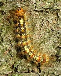 再掲 この毛虫は何でしょう? 自宅周辺の木々にこの毛虫がたくさんついています。 どんな害があるのか、成虫になると何になるのか知りたくて図鑑などを見てみましたがよく分かりません。