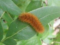 この毛虫の名前を教えてください ヒトリガ科のスジモンヒトリ Yahoo 知恵袋