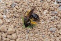 地面に穴を掘っているハチがいます。何というハチでしょうか? また、人を刺したりしますか? 撮影場所は小学校の運動場です。
