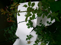 バラ、ローブリッターのこの春に出たシュートの葉っぱですが、今までの葉っぱと形が違う気がします。今までの葉っぱは丸みがありました。 写真右の枝が新しいシュート、ビニールタイのすぐ左白い紙から出したのが元の丸みのある葉っぱ、その左一枚ちぎったのは新しいシュートの下の方の物、更に左のちぎれちゃった幼葉は元のローブリッター、です。ただ、よーーく葉っぱ全体を見ると、元のローブリッターでもたまに丸みのな...