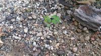 オダマキの近くに生えてきた小さな芽です。 種が採れたので余ったぶんを先月パラパラ蒔いたのですが、オダマキの芽でしょうか?  双葉の上に茎が伸びて、ハート型の葉が3枚ついてます。 その葉っぱ3枚の茎が2本...