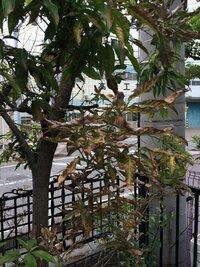 庭のシラカシが枯れてきてしまいました。どのような対応をしたらよいでしょうか?