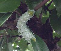 虫の苦手な方すみません。カイズカイブキの木に二体いるこの幼虫 名前を知りたいのですが見当たりません。 どなたか名前を教えていただけませんか。駆除する方法も教えてください。宜しくお願いします。