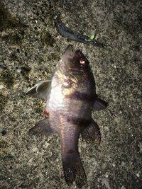 釣りや魚に詳しい方に質問です。 海の波止場で釣りをしていますが、このような魚が釣れたのですが、なんという魚でしょうか? サイズは10cmから15cmくらいです。 ご存じの方おられます?  また食べれますか?  宜しくお願いします。