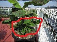 ドワーフモンキーバナナを飼育しています。 鉢植えてからある程度成りました所、バナナ は可成り大きくなりました(60cm以上)。 そうすると根元から、6本位、小さなバナナの 苗が出てきました。 一様、放置して降りましたが 1つの植木の中にバナナ苗大1本(元々のバナナ) と、小(後から生えて来た苗)が合計7本位あり、 植木鉢の根元?の所がとても混雑しているので 質問しました。 後...