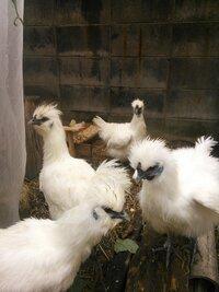 烏骨鶏の雄雌の見分け方についての質問です。 画像のように4羽の烏骨鶏を飼育しています。 春先に雌鳥として購入して、今で、150日から180日の鳥たちなのですが、卵を産むのは、4羽いるのですが、全体で、1日1個産むか産まないかというくらいのペースで卵を産んでくれています。 4羽のうち2羽が、喉の下にビロビロのようなものが伸びてきて、コケコッコーとは鳴きませんが、クワックワックワックワワワワ...