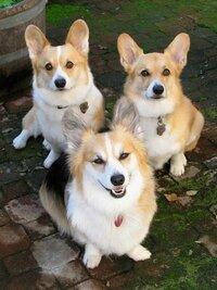 コーギーの犬種についてなんですが  画像の手前にいるコーギーの犬種を教えてください  また、どんな犬かも教えてください(๑• ㅁ• ๑)✧
