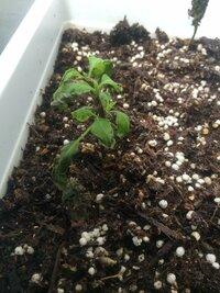 大葉ときゅうりが育たない。 野菜菜園初心者です。 大葉ときゅうりの種をいただき、大葉は一ヶ月ほど前に植えました。 きゅうりは2週間ほど前に植えました。 最初のうちはどちらも元気よく 芽をだしてくれたのですが、 10センチほどまで育つと、大葉は次第に茎の先端部分が黒くなっていき、2日ほどで葉っぱが枯れ抜け落ちて、真っ黒な茎だけになってしまいました。 きゅうりも葉っぱがシワシワになり...