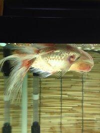 金魚の病気について画像のような状態です。原因と対処方法知っている方がおりましたら教えてください。よろしくお願いします。