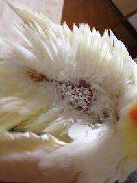 オカメインコについて質問です! オカメインコの羽ってふつう こうなりますか?  この羽の部分は毛づくろいするときに見えます  ちなみにもうすぐ2歳になります
