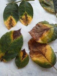 バラを育てています。 バラ栽培を7年ほどです。  この春の花後辺りから、バラの葉の異変を感じています。 黒点病とは違う黄変~茶色~で枯れ落ちます。 最初は肥料不足(微量要素・マグネシュームなど)等も思ったの ですが、、。 いろいろ調べていますが、新種の葉枯病では?との声もあります。  必ずと言っていいほど、葉先から、葉脈に沿った黄変が出て広が っていきます。  バラの詳...