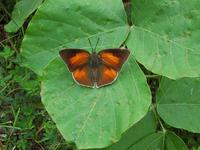 長野県北部でウラギンシジミが見られるというのは今では普通でしょうか? 綺麗な蝶がいるなと思って後で少し調べてみたのですが、ウラギンシジミは本州以南に分布する暖地性の蝶で、分布域が北上して拡大している...