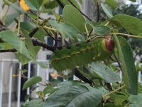 家のジューンベリーの木にとても大きな毛虫が何匹かいます。 長さが6〜7cmのかなり巨大な毛虫です。毛も長く、活発に動いています。 この毛虫、大人になったらどんな蛾になりますか??