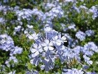 9月のローマ旅行で見かけた青い花の咲く木です。塀につるのように絡まっていました。どなたか品種名をご存知ではないでしょうか。ルリマツリではないです。