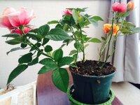 以前も質問させて頂きました。 エルパソ・フォーエバー 品種 大輪系ミニバラ   4号鉢を頂きました。  以前、質問をした時よりもますます落葉していき…スッカッスカ。花は咲いてますが。 今朝、葉をよく見...