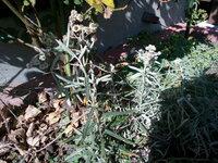 ローズマリーっぽい?雑草ですが名前が知りたいです。 どなたか、わかる方いませんか。