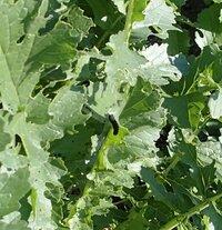 家庭菜園で大根の葉に付いた黒い虫の名前は何ですか。葉に触るとポロット下に落ちます。