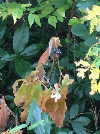 生き物,片隅,植物,マムシグサ,テンナンショウ属,品種名