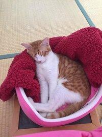 飼い猫の模様の呼び方がわかりません。 この写真の猫の柄は何と呼ばれるでしょうか? サバトラとかキジトラとか茶トラとか色々呼び方ありますが、この子は何でしょうか。 猫ちゃんに詳しい方、よろしくお願いしま...