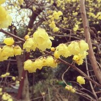 この花の名前、わかる方いらっしゃいますか? 今日散歩した時に見かけた花で、木になっていてとても甘い匂いがしました。  調べてみたところヒュウガミズキではないかと思うのですが、詳しい方よろしくお願いします。お