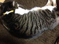 うちの飼い猫について質問です。 最近気づいたのですが体としっぽの付け根あたりが凹んでいるように見えます。 自分で調べたところ馬尾症候群という病気に症状が似ているように思えます。 凹 んでいる部分を触...