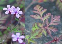 画像の草花はフウロソウの仲間のようですが、外来種でしょうか? 市街地の細い河川の護岸工事したコンクリから出て咲いていました。写真では色が多少とんでしまっていますが実際はピンクの濃い色です。ゲンノショウコの赤花かと思いましたが葉や花の形が違います。葉の一部をアップしていますがヒメフウロに似ていますが…? おわかりの方はお願いします。