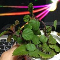 この観葉植物の名前を教えてください。 1年ほど前にヤフオクで植物を落札した時にオマケでもらった観葉植物なのですが、当時その植物の名前をメモしたものがなくなってしまいそのまま名前を忘れてしまいました。 画像で調べてみてもなかなかそれらしいものが見つからず困っています。 どなたか分かる方はいらっしゃいますでしょうか? 宜しくお願い致します。