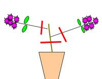 ブーゲンビリアの剪定について教えて ブーゲンビリアが枝先にしか花も葉もがつかない状態です。 図の赤線で剪定(または切り戻し)した場合、胴吹芽はでますか。枯れてしまいますか。 花が咲くのがずっと先にな...