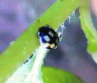教えてください。  黄色と黒で、水玉模様ではなく、四角模様で、てんとう虫みたいな この虫は何でしょうか( i _ i )?   てんとう虫といえば、水玉模様と思っていたので、気になりまし た。  ひまわりについていました。