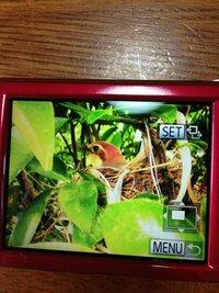 庭のみかんの木に鳥が巣をつくり、卵を温めているようです。 とても可愛らしい目をした鳥です。 すずめにしては大きい気がするのですが、何という鳥でしょうか?