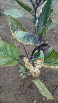 写真の様になすの葉が茶色になってきました。 これが「ハダニ」の被害でしょうか? 葉の表面に小さい白いものがたくさん見られます。動かないのですがハダニなのかな?と思います。 木酢液の 散布を考えていますが、もう手遅れでしょうか?対処法を教えてください。 よろしくお願いいたします。