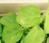 ペチュニアの葉っぱに白い傷みたいなものができていたのですが、これは何かの病気ですか。それとも何かの虫の仕業でしょうか。植物栽培は初めてで、どう対処すべきか分かりません。