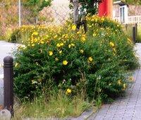団地内に今咲いている、黄色い花の名前を教えてください。