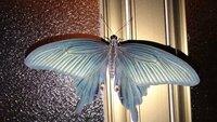 閲覧注意 蛾に詳しい方 この蛾の名前がわかる方いらっしゃいましたら教えてください。