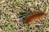 このモコモコ毛虫 毛虫の中では愛らしいやつ って成虫は何です Yahoo 知恵袋