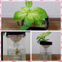 バジルを室内の窓際で、ペットボトルで水耕栽培しているのですが 葉の色がとても薄い上にバジルの香りというより薬品のような香りがします。。  屋外で育てたものを摘心し、それを挿し穂として根がある程度のびる...
