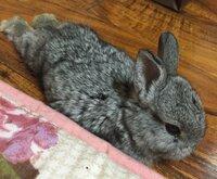 1ヶ月半 子ウサギのいびきについて  ペットショップで1ヶ月半の子ウサギをお迎えしました お迎えしてから約1週間なんですが、遊んで寝ている時にぶぅぶぅや、ぐーぐー、すぴーすぴーみたいな いびきをかきます...