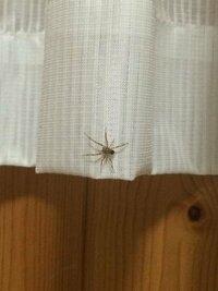 この蜘蛛の種類を教えてください! 最近住み着いたかわいい蜘蛛です。蜘蛛は益虫ですので基本的に家に居候させています。セアカだけ覚えておけば怖くないと思ってます! 質問はタイトル通りです。お願いします!