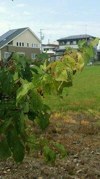 杏の木の病気について質問です  家の杏の枝が赤く葉がちりちりしています。 また結構な数のアリが幹や枝、葉についています。 この病気の名前と対処法を教えて頂けないでしょうか  また20個前後の実を収穫し...