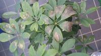 カポックの葉が茶色く変色してきました。 10年植え替えていない友達の家のカポックを2週間前に2鉢に分けました。  植木鉢から出したところ、木が2本で根も分かれていました。  植え替えた土は赤玉土7:腐葉土3です。  植え替え後にメネデールを与え、5日程前に一回だけ液肥を与えました。  水やりは乾いたら与える感じです。  直射日光は良くないとネットで見たので、今はすりガラス越しの玄関の中に入れ...