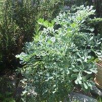 この植物の名前を教えてください。 葉っぱに臭いがあるのでハーブだと思います。