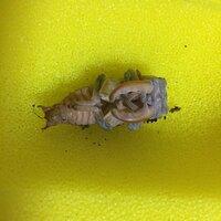 ミヤマクワガタのオスの蛹なんですが、あとどれくらいで羽化しますか?  人工蛹室なんですが、羽化したあと成熟期間が長いようですけど、どのように処置すれば良いですか?