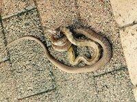 家の前に蛇がいたんですけどこれはなに蛇ですか?マムシだったら警察にお願いするんですが