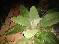 この大きい葉っぱは何の植物だと思いますか? 葉っぱには細かい毛みたいのがあります 触ったらふかふかします よろしくお願いします!