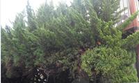 【庭木・園芸に精通している方・専門家の方】のご回答を希望します。 添付画像の庭木は何という名称でしょうか。 正式名称が分からないとネットでお手入れ法など検索できず、困っ ています。 家族が植えたものですが、最近は手入れが行き届かず、日光を求 めるため庭木が大きく変形もしてしまいました。 先日、変形して張り出した幹は、可哀想ですが、のこぎりで伐採し ました。 問題は高さなのですが...