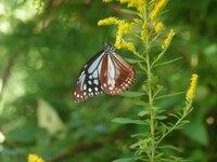 これは今日佐賀の山中を歩いていたら見かけた蝶なのですが、珍しい模様だと感じましたが名前がわかりません。みなさんの中でこの蝶の名前わかる方いましたら教えてください。