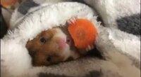 画像の動物ってハムスターですか?凄く可愛いので欲しいと思っているのですがなんの動物か分からず困っています。よろしくお願いします。